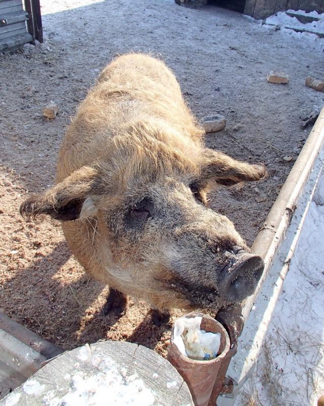 Мохнатый свин