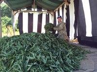 Листья иван-чая заготавливали тоннами