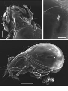 Новые виды клещей открыли в этом году сотрудники ТюмГУ. Вид tjumeniensis (тюменский)