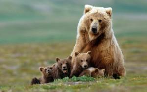медведи-новички