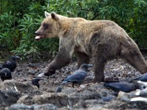 kamchatka-medvedi