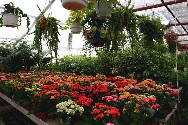 Теплица с ккомнатными цветами. с. Луговое. хозяйство Плодовое