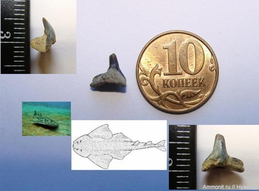 Зуб акулы-ангела. Фото из личного архива Антона Масленникова