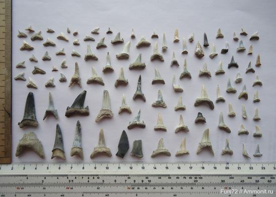 Коллекция зубов акулы. Фото из личного архива Владимира Ордовского