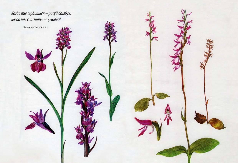 11 на урале произрастает более 50 сортов орхидей