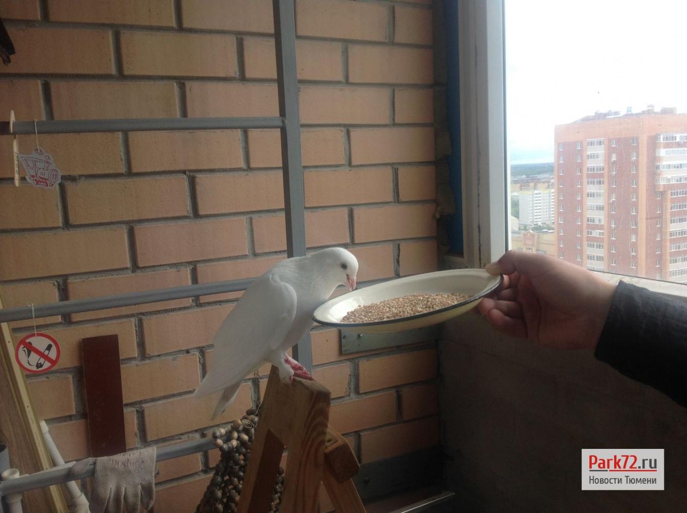 У тюменца на балконе поселился голубь мира - park72.ru.
