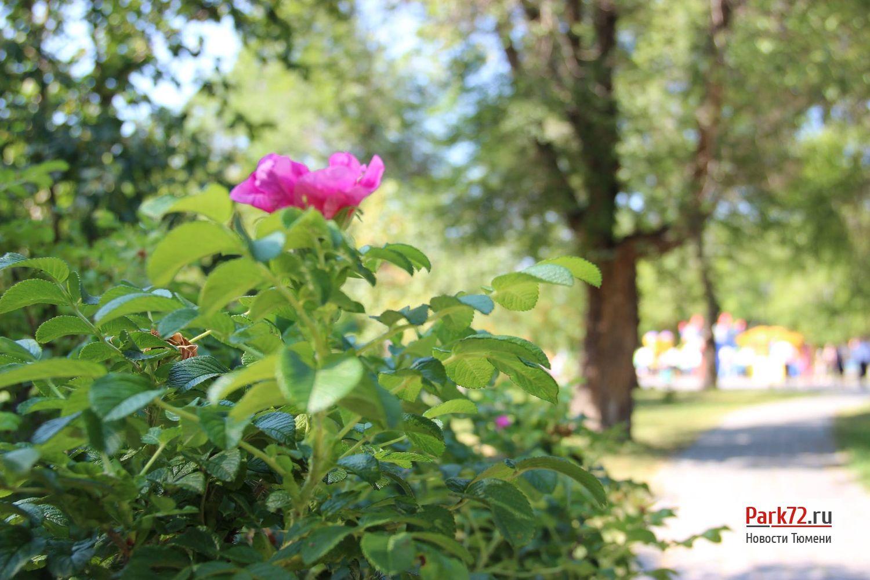 Кконцу лета вТюмени вновь зацвели деревья