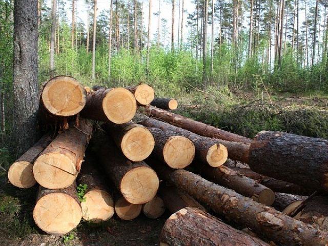 ВТарском районе нелегально нарубили сосен на400 тыс. руб.